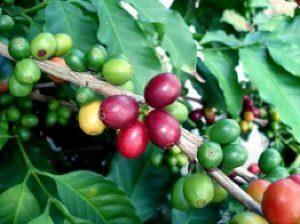 tree-of-coffee-3_2932147